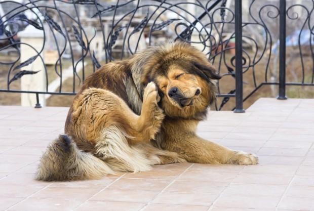 berne em cão