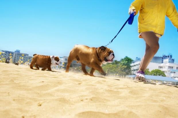 Bulldog andando no sol