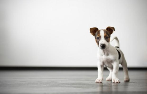 cachorro adestrado