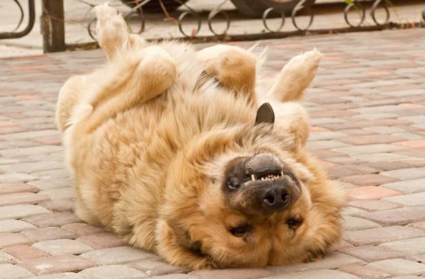 cachorro obediente
