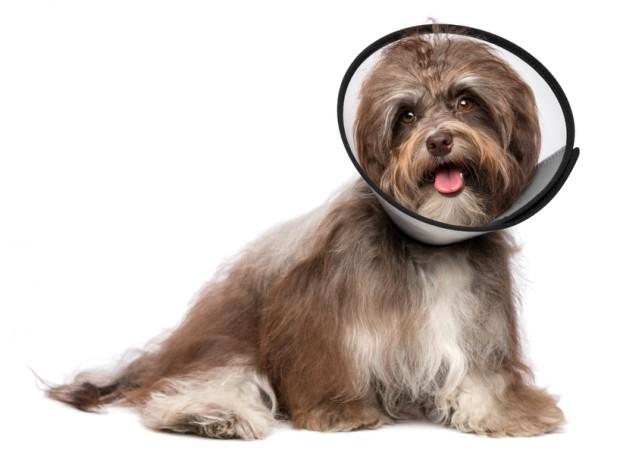 cão doente renal