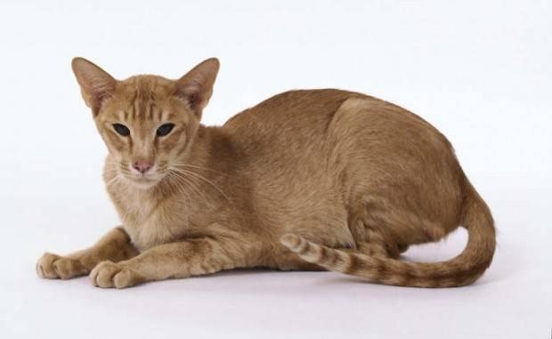 gato oriental adulto