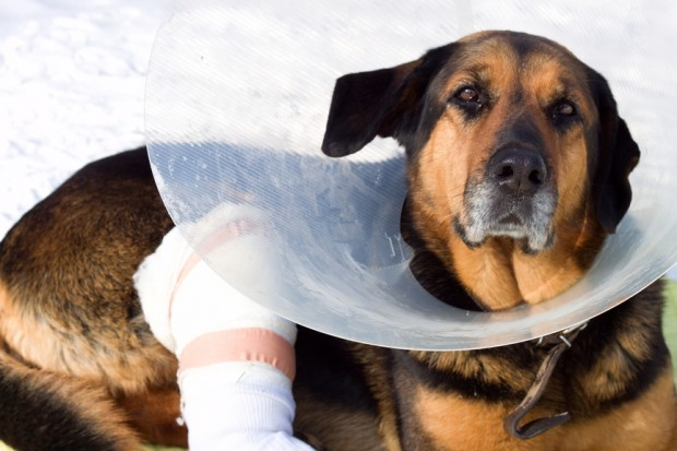hepatite canina