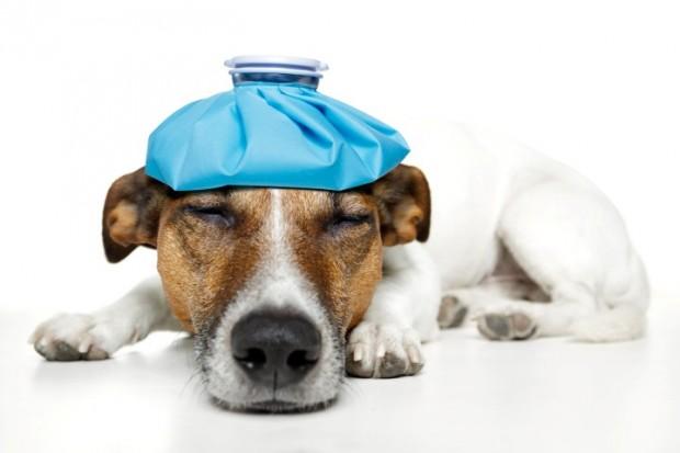 sintomas de gripe canina