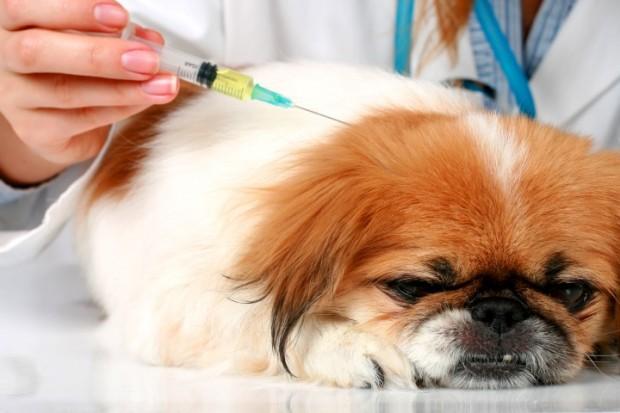 vacina em cão